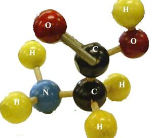 A model of the amino acid molecule glycine (red is oxygen, black is carbon, yellow is hydrogen, and blue is nitrogen atoms)