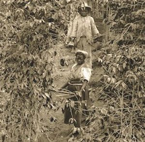 Enslaved Afro-Brazilians harvest coffee (Brazil, ca. 1882)