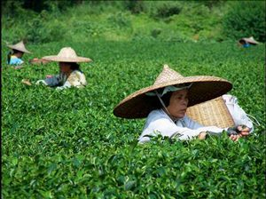 Harvesting tea in China: women in big straw hats with baskets standing in a sea of green leaves