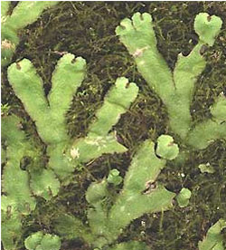 Liverworts: a green plant that evolved during the Ordovician period