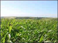 A field of green millet - - looks like corn but shorter