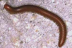 Millipede - like a worm with lots of tiny feet - evolved during the Ordovician period
