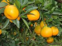 Oranges growing in China