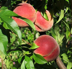 Peaches growing on a peach tree