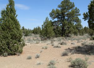 Pine trees in a dry area