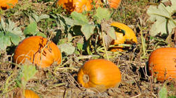 Orange, round, pumpkins growing in a field - history of halloween