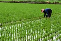 Chinese man planting rice in a rice paddy