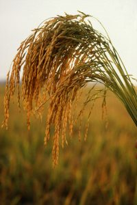 Tall green grass with golden tufts of rice on the end