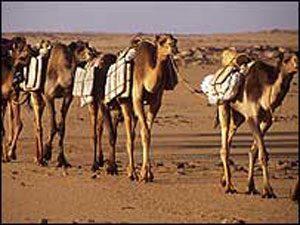 A salt caravan across the Sahara Desert