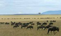 Wildebeest on savannah grasslands, Kenya (Africa)