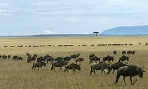 Wildebeest on savannah grasslands, Kenya (Africa)