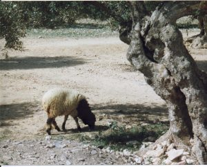 A sheep under an olive tree