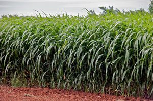 A field of sorghum: tall green grass