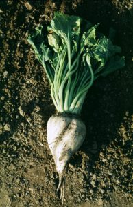 Sugar beet (from Germany)