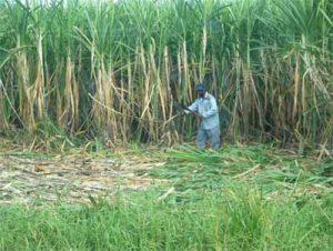 Sugar cane harvest in India