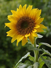 A sunflower with a much larger center