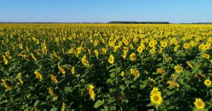 A field of sunflowers in Russia