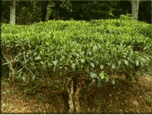 Tea bush in Sri Lanka
