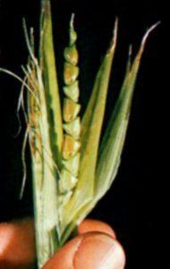 Teosinte - wild corn