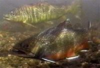 trout swimming
