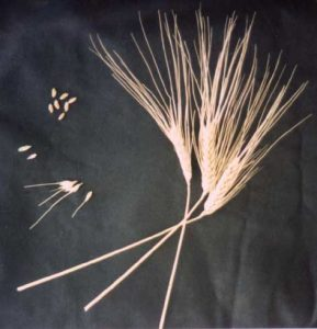Close up of wheat seeds