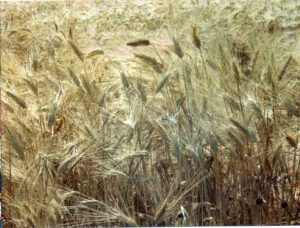 wheatfield - wheat history. Golden stalks crowded together.