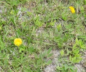 wild peanut plant - green, low, like dandelions