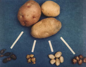 wild potatoes (tiny) and modern potatoes