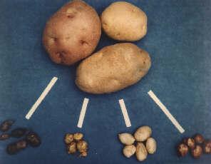 wild potatoes (tiny) and modern potatoes