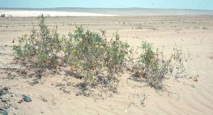 Wild tomato plants in South America growing in the sand