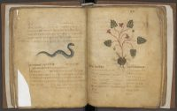 Pseudo-Apuleius, Herbarium manuscript on parchment (now in Leiden)