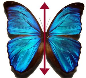 A butterfly thanks to Wikimedia Commons