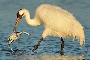 A crane holding a crab
