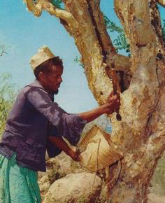 Gathering sap from a frankincense tree