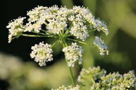 Hemlock: a bunch of white flowers like Queen Anne's lace