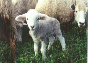 lamb standing in a field