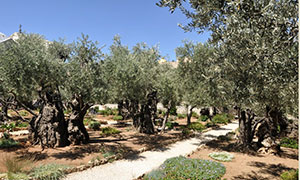 Olive trees (on the Mount of Olives, Jerusalem)