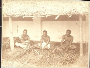 Old photo of indian men peeling cinnamon bark off sticks