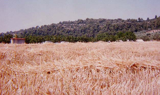 A field of wheat in India