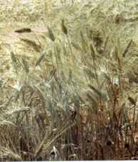 A field of yellow stems of wheat