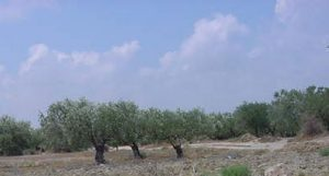 Blue sky over Tunisia's olive orchards