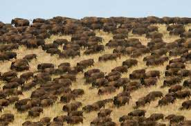 A herd of bison