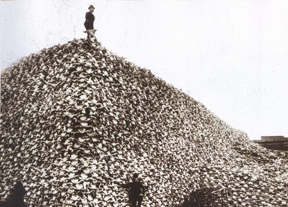 A pile of buffalo skulls waiting to be made into fertilizer.Courtesy of the Burton Historical Collection,Detroit Public Library. � 1999