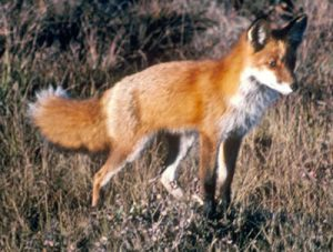 a fox walking in long grass