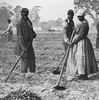 Enslaved people planting sweet potatoes (1862)