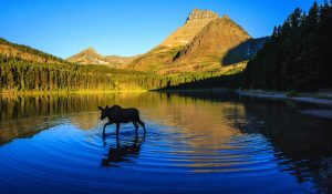 Montana landscape with a moose calf wading