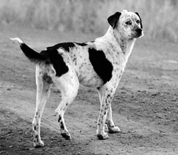 A Navajo dog today: medium-sized, with white and black spots