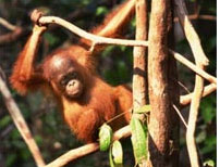 An orangutan child using a stick as a lever