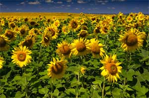 Sunflowers growing in a field