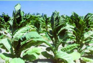 tobacco plants in a field with big floppy green leaves - History of tobacco.